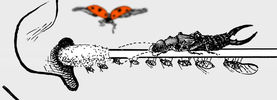 En ear open to all stimuli